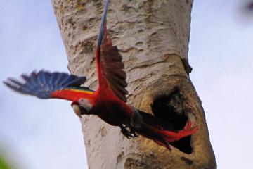 Tour de observación de aves en Ixpanpajul, Tikal o Taxha