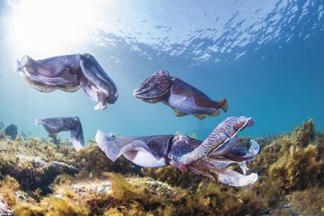 2-Day Small-Group Swim with Giant Cuttlefish Trip from Adelaide