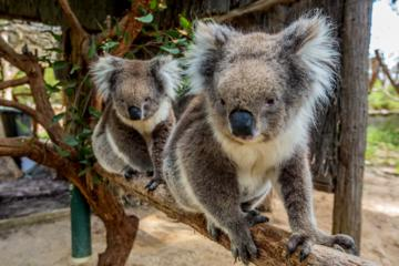 Cleland Wildlife Park: Tour ab Adelaide mit Gipfel des Mount Lofty