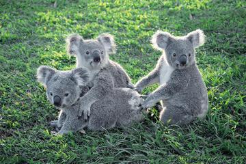 lone-pine-koala-sanctuary-et-mont-coot-tha-excursion