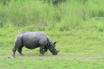 Explore the one horn Rhino with eco  nature camp