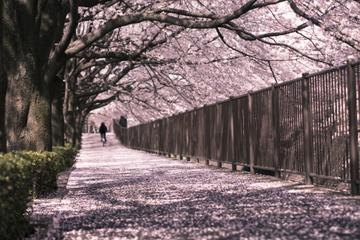Kirschblüten-Führung und Tokio Tower-Tour