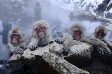 Viagem de um dia até Nagano, saindo de Tóquio: Macacos-japoneses...