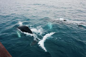 Deluxe Whale Watching and Whales of Iceland Exhibition Combo from...