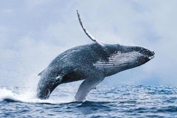 Sortie d'observation des baleines au...