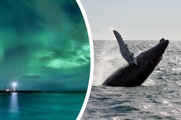 Whale Watching and Northern Lights Combo Tour