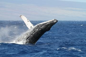 Excursion pour l'observation des baleines au départ du Cap