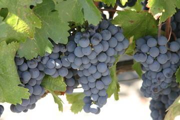 Visite de Muir Woods et de la région viticole