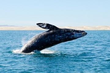 Fantástica aventura de avistamiento de cetáceos desde Los Cabos