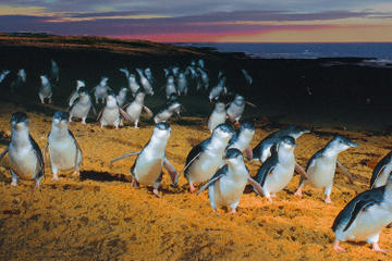 Phillip Island: Dagtour naar pinguïns, koala's en kangoeroe's vanuit ...