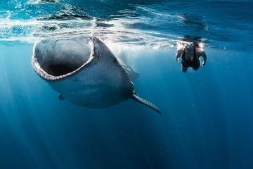 Plongée avec les requins baleines au départ de Cancún et de la...