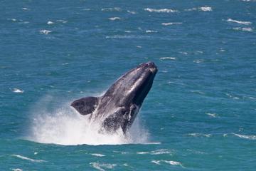 Gita giornaliera per l'avvistamento delle balene da Città del Capo