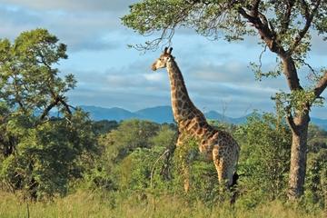 Safari dans la réserve de Hluhluwe