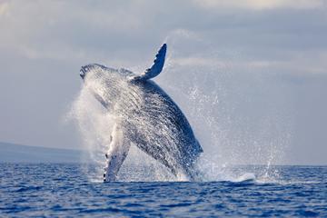 Samaná Whale-Watching Cruise