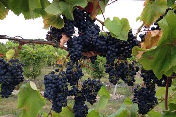 Besøg på Vesterhavegaardens vingård og vinbutik – økologisk produktion