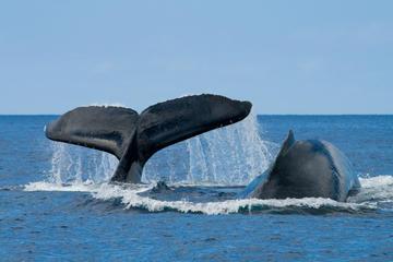 Walbeobachtung in San Diego
