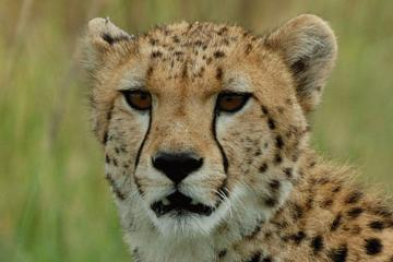 Ann Van Dyk Cheetah Centre Tour from Johannesburg or Pretoria