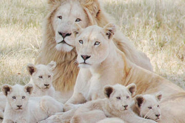 Lion Park Tour from Johannesburg or...