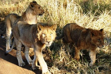 Rhino and Lion Park Guided Safari from Johannesburg or Pretoria