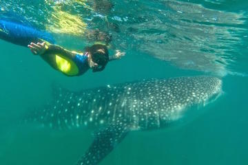 Swim Near a Whale Shark Habitat in La...