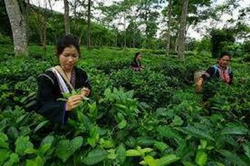 Best of Chiang Mai Day Tour: Oldest Tea Plantation and Doi Suthep...