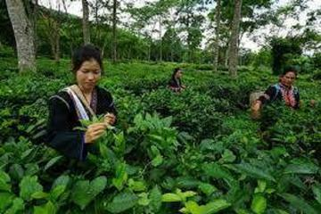 Chiang Mai Tour with Tea Plantation...