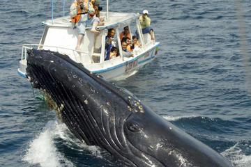 Walbeobachtungstour in der Bucht von Samaná ab Puerto Plata