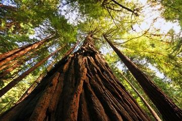 Viagem de meio dia a Muir Woods, sequóias gigantes e Sausalito