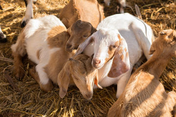 Czech Volcanic Mountains and Goat Farm Private Tour