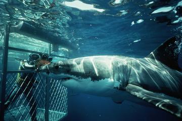 città del capo immersioni con gli squali (con i prezzi)