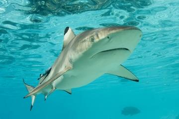 Mergulho entre tubarões em Nassau