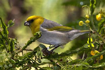 ハワイの絶滅危惧種の鳥