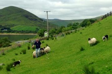 Hill Sheep Farming and Sheepdog Trialling Experience in Galway