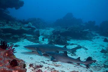 Tauchen mit Haien in Padangbai