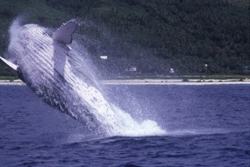 Croisière d'observation des baleines à Tahiti