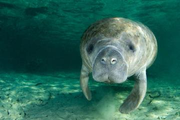 Schwimmen mit Manatees auf dem Crystal River für Selbstfahrer