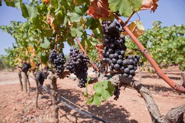 Guided Winery Tour in Mallorca