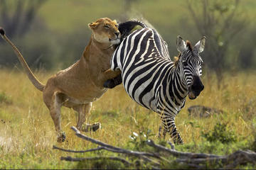 6-Day Masai Mara, Lake Nakuru and Amboseli Great Safari Tour from...