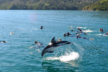 Half-Day Dolphin Swimming Eco-Tour from Picton
