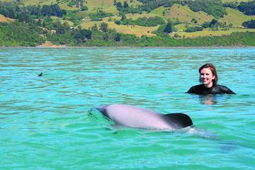 In Akaroa mit Delfinen schwimmen von...