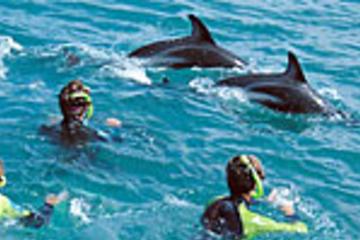 In Kaikoura mit Delfinen schwimmen...