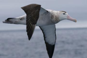 Kaikoura Albatros-Begegnung von Christchurch