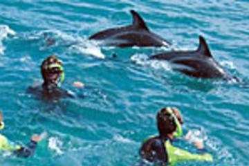 Nadar con delfines en Kaikoura desde...