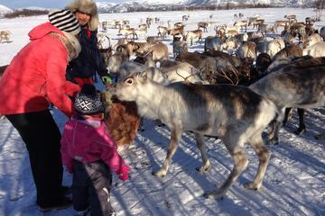 Tour mit Rentierfüttern, Lassowerfen und Sami-Kultur inklusive...