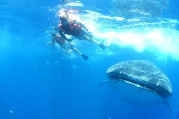 Nado con tiburones ballena desde la Riviera Maya