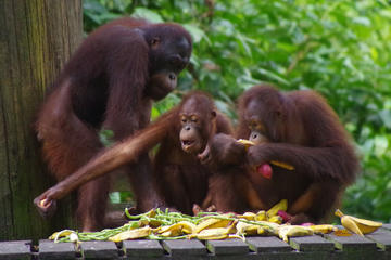 Full Day Sepilok Orang Utan, Bornean Sun Bear and Rainforest Discovery Centre Tour Including Local Lunch