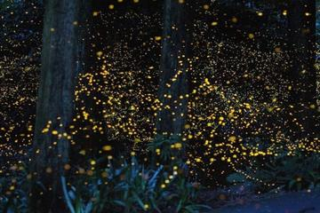 Private Tour: Kuala Selangor Fireflies River Ride Including Dinner...
