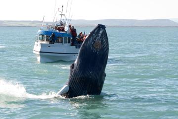 Avistamiento de ballenas con tour básico a Gullfoss y Geysir desde...