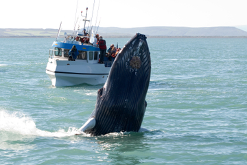Bootstour zur Walbeobachtung einschließlich Express-Tour zum...