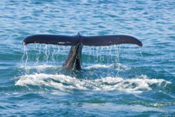 Landausflug Reykjavik: Bootstour zur Walbeobachtung und Blaue Lagune